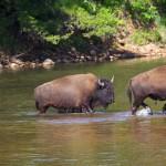 1616 Buffalo Fording a Stream