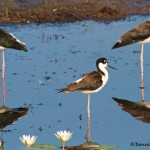 1623 Black-necked Stilt (Himantopus mexicanus)