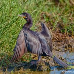 1633 Neotropic Cormorant (Phalacrocorax brasilianus), Anahuac NWR, TX