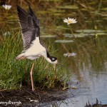 1647 Black-necked Stilt (Himantopus mexicanus)