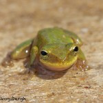 1649 American Green Tree Frog (Hyla cinerea). Anahuac National Wildlife Refuge, TX