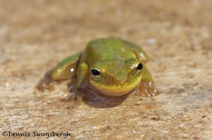 1649 American Green Tree Frog (Hyla cinerea). Anahuac National Wildlife Refuge, TX