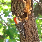 1834 Adult Male Red-bellied Woodpecker (Melanerpes carolinus)