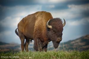 1840 Bison