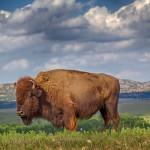 1841 Bison