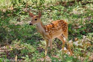 1844 Fawn, White-tailed Deer (Odocoileus virginianus)