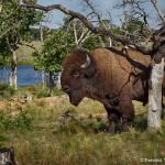 1846 Bison