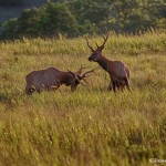 1848 Bull Elk, Morning Sparring