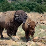 1849 Bison Affection