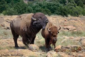 1849 Bison Affection