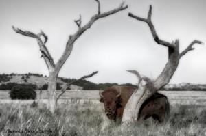 1850 Bison