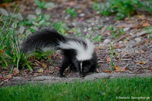 1854 Striped Skunk (Mephitis mephitis)