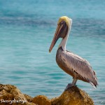 1860 Brown Pelican (Pelicanus occidentalis)