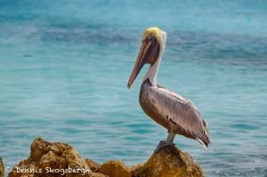 1860 Brown Pelican (Pelicanus occidentalis)