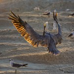 1862 Brown Pelican (Pelicanus occidentalis)