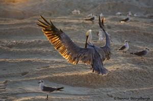 1862 Brown Pelican (Pelicanus occidentalis)