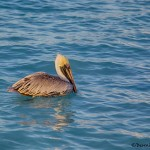 1863 Brown Pelican (Pelicanus occidentalis)