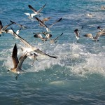 1866 Gulls, Terns and Pelicans, Feeding Frenzy