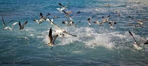 1866 Gulls, Terns and Pelicans, Feeding Frenzy