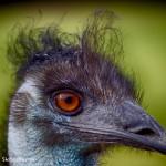 1873 Emu (Dromaius novaehollandiae)