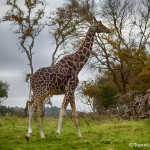 1875 Giraffe (Giraffa camelopardalis)