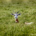 1876 Addra Gazelle (Gazella dama ruficolis)