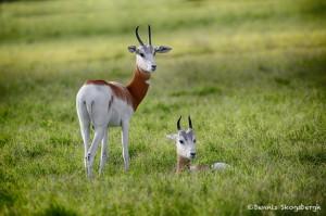 1877 Addra Gazelle (Gazella dama ruficolis)