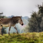1878 Zebra (Equus zebra hartmannae)