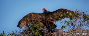 1893 Turkey Vulture (Cathartes aura)