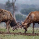 1894 European Red Deer (Cervus elaphus) Sparring During the Fall Rut