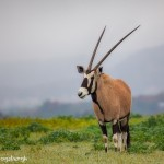 1897 Roan Antelope (Hippotragus equinus)