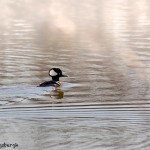 1901 Male Hooded Merganser (Lophodytes cucullatus)