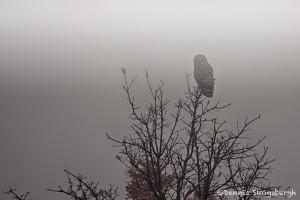 1903 Barred Owl (Strix varia), Foggy Winter Dawn