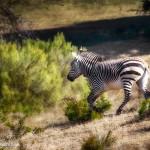 1914 Hartman's Mountain Zebra (Eqqus zebra hartmannae)