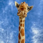 1915 Giraffe (Giraffa camelopardalis)