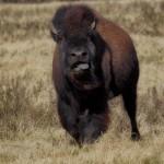 1920 Bison