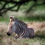1921 Zebra Foal