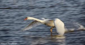 1922 Mute Swan (Cygnus olor)
