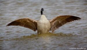 1924 Canada Goose (Branta canadensis)