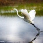 1928 Great Egret (Ardea alba)