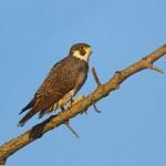 1930 Peregrine Falcon (Falco perefrinus)