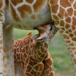 1932 Giraffe (Giraffa camelopardalis) Calf Feeding