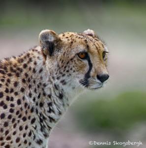 1934 Cheetah (Acinonyx jubatus)