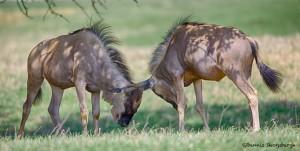 1936 Wildebeest Sparring (Connochaetes taurinus)