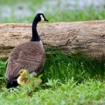 1939 Canada Goose with Chick (Branta canadensis)