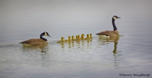 1940 Canada Geese and Goslings