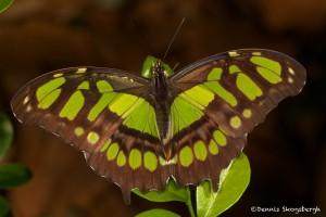 1945 Malachite Green Butterfly (Siproeta stelens)