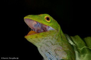1956 Green Tree Lizard