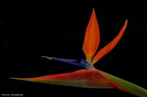 1957 Bird of Paradise Flower (Strelitzia reginae)