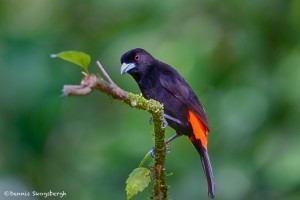 1968 Male Cherrie's Tanager (Ramphocelus costaricensis)